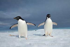 Image 25007, Two Adelie penguins, holding their wings out, standing on an iceberg. Paulet Island, Antarctic Peninsula, Antarctica, Pygoscelis adeliae, Phillip Colla, all rights reserved worldwide.   Keywords: adeliae:adelie:adelie penguin:animal:animalia:antarctic peninsula:antarctica:aves:berg:bird:brush-tailed penguin:chordata:cold:frozen:ice:ice berg:iceberg:oceans:paulet island:penguin:portfolio:pygoscelis:pygoscelis adeliae:sea bird:seabird:southern ocean:spheniscidae:sphenisciformes:vertebrata:vertebrate:water:wildlife.