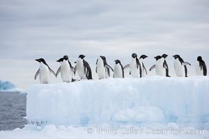 Adelie penguins, in a line, standing on an iceberg. Paulet Island, Antarctic Peninsula, Antarctica, Pygoscelis adeliae, natural history stock photograph, photo id 25018