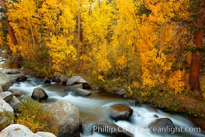 Image 23323, Aspens turn yellow in autumn, changing color alongside the south fork of Bishop Creek at sunset. Bishop Creek Canyon, Sierra Nevada Mountains, California, USA, Populus tremuloides, Phillip Colla, all rights reserved worldwide.   Keywords: aspen:aspen tree:autumn:bishop:bishop creek canyon:bishop creek canyon sierra nevada mountains:california:creek:downstream:eastern sierra:eastern sierra fall colors:environment:fall:fall color:fall colors:flow:foliage:forest:grove:high sierra:landscape:mountain:nature:outdoors:outside:plant:populus tremuloides:quaking aspen:rapids:river:scene:scenery:scenic:sierra:sierra nevada:south fork:stream:terrestrial plant:tree:usa:water.