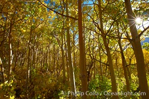 Inside a grove of young yellow aspen trees, in autumn, Populus tremuloides, Bishop Creek Canyon, Sierra Nevada Mountains