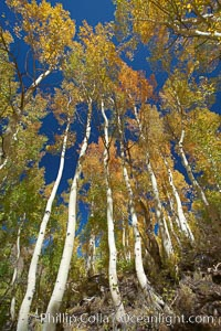 Image 23337, White trunks of aspen trees, viewed upward toward the yellow and orange leaves of autumn and the blue sky beyond. Bishop Creek Canyon, Sierra Nevada Mountains, Bishop, California, USA, Populus tremuloides, Phillip Colla, all rights reserved worldwide. Keywords: aspen, aspen tree, autumn, bishop, bishop creek canyon, bishop creek canyon sierra nevada mountains, california, eastern sierra, eastern sierra fall colors, environment, fall, fall color, fall colors, foliage, forest, grove, high sierra, landscape, mountain, nature, outdoors, outside, plant, populus tremuloides, quaking aspen, root, scene, scenery, scenic, sierra, sierra nevada, south fork, terrestrial plant, tree, trunk, usa.