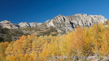Aspen trees turn gold in fall, with peaks of the Sierra Nevada rising in the distance, Populus tremuloides, Bishop Creek Canyon, Sierra Nevada Mountains