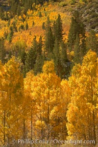Image 23347, Yellow aspen trees in fall, line the sides of Bishop Creek Canyon, mixed with  green pine trees, eastern sierra fall colors. Bishop Creek Canyon, Sierra Nevada Mountains, Bishop, California, USA, Populus tremuloides