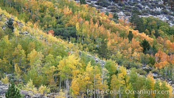 Aspen trees, create a collage of autumn colors on the sides of Rock Creek Canyon, fall colors of yellow, orange, green and red. Rock Creek Canyon, Sierra Nevada Mountains, California, USA, Populus tremuloides, natural history stock photograph, photo id 23348