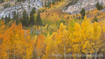Aspen trees turning yellow in autumn, fall colors in the eastern sierra. Bishop Creek Canyon, Sierra Nevada Mountains, California, USA, Populus tremuloides, natural history stock photograph, photo id 23352