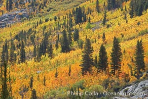 Yellow aspen trees in fall, line the sides of Bishop Creek Canyon, mixed with  green pine trees, eastern sierra fall colors. Bishop Creek Canyon, Sierra Nevada Mountains, Bishop, California, USA, Populus tremuloides, natural history stock photograph, photo id 23359