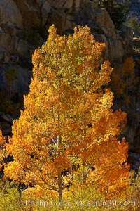 Image 23360, Aspen trees turning yellow in autumn, fall colors in the eastern sierra. Bishop Creek Canyon, Sierra Nevada Mountains, Bishop, California, USA, Populus tremuloides
