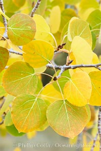 Closeup of aspen leaves as they turn yellow in autumn, Populus tremuloides, Rock Creek Canyon, Sierra Nevada Mountains