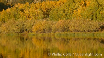 Aspen trees in fall, change in color to yellow, orange and red, reflected in the calm waters of North Lake, Populus tremuloides, Bishop Creek Canyon, Sierra Nevada Mountains