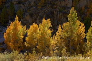 A golden grove of turning aspen trees, is backlit by the late afternoon sun, with dark granite cliffs behind, Populus tremuloides, Bishop Creek Canyon, Sierra Nevada Mountains