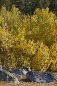 Aspen leaves turn yellow in fall in Rock Creek Canyon, Populus tremuloides, Rock Creek Canyon, Sierra Nevada Mountains