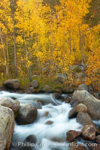 Aspens turn yellow in autumn, changing color alongside the south fork of Bishop Creek at sunset. Bishop Creek Canyon, Sierra Nevada Mountains, Bishop, California, USA, Populus tremuloides, natural history stock photograph, photo id 23378