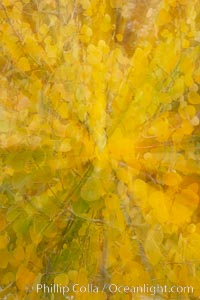Kaleidoscope of yellow colors as the lens zooms while taking a photo of aspen leaves in autumn, Populus tremuloides, Rock Creek Canyon, Sierra Nevada Mountains