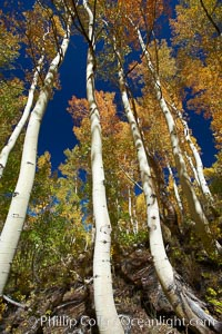 White trunks of aspen trees, viewed upward toward the yellow and orange leaves of autumn and the blue sky beyond, Populus tremuloides, Bishop Creek Canyon, Sierra Nevada Mountains