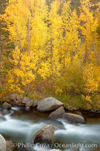 Aspens turn yellow in autumn, changing color alongside the south fork of Bishop Creek at sunset. Bishop Creek Canyon, Sierra Nevada Mountains, Bishop, California, USA, Populus tremuloides, natural history stock photograph, photo id 23391