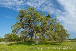 Oak trees and grass cover the countryside in green, spring, Sierra Nevada foothills. Mariposa, California, USA, Quercus, natural history stock photograph, photo id 16049