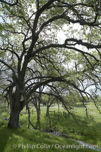 Oak trees and grass cover the countryside in green, spring, Sierra Nevada foothills. Mariposa, California, USA, Quercus, natural history stock photograph, photo id 16052