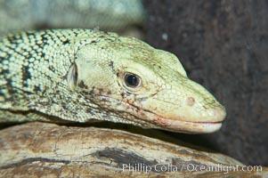 Quince monitor lizard, Varanus melinus