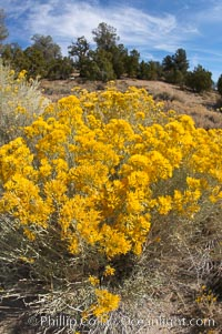 Rabbitbrush. White Mountains, Inyo National Forest, California, USA, Chrysothamnus, natural history stock photograph, photo id 17610