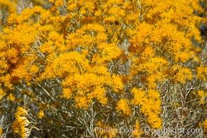 Rabbitbrush. White Mountains, Inyo National Forest, California, USA, Chrysothamnus, natural history stock photograph, photo id 17605