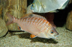 Rainbow surfperch., Hypsurus caryi, natural history stock photograph, photo id 09413