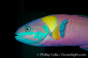 Cortez rainbow wrasse, terminal male phase sometimes referred to as supermale., Thalassoma lucasanum, natural history stock photograph, photo id 09297