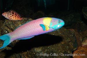 Image 09298, Cortez rainbow wrasse, terminal male phase sometimes referred to as supermale., Thalassoma lucasanum