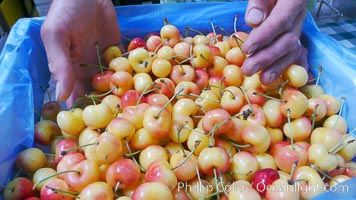 Rainier cherries at the Public Market, Granville Island, Vancouver. British Columbia, Canada, natural history stock photograph, photo id 21199