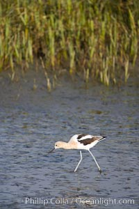 American avocet, forages on mud flats. Upper Newport Bay Ecological Reserve, Newport Beach, California, USA, Recurvirostra americana, natural history stock photograph, photo id 15683