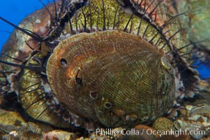 Juvenile red abalone., Haliotis rufescens, natural history stock photograph, photo id 08633