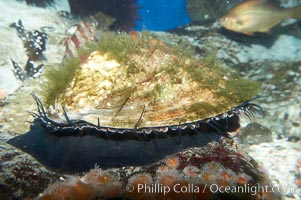 Red abalone., Haliotis rufescens, natural history stock photograph, photo id 11823