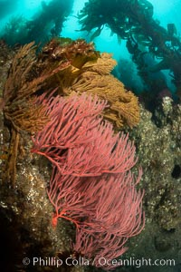 Red gorgonian and California golden gorgonian on underwater rocky reef below kelp forest, San Clemente Island. Gorgonians are filter-feeding temperate colonial species that lives on the rocky bottom at depths between 50 to 200 feet deep. Each individual polyp is a distinct animal, together they secrete calcium that forms the structure of the colony. Gorgonians are oriented at right angles to prevailing water currents to capture plankton drifting by, San Clemente Island. Gorgonians are oriented at right angles to prevailing water currents to capture plankton drifting by, Lophogorgia chilensis