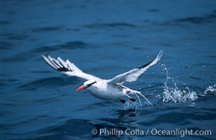Red-billed tropic bird, taking flight over open ocean. San Diego, California, USA, Phaethon aethereus, natural history stock photograph, photo id 06295
