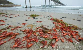 Pelagic red tuna crabs, washed ashore to form dense piles on the beach. Ocean Beach, California, USA, Pleuroncodes planipes, natural history stock photograph, photo id 30981