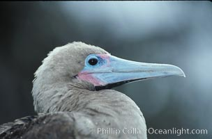 Red-footed booby. Cocos Island, Costa Rica, Sula sula, natural history stock photograph, photo id 05752