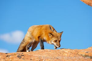 Red fox.  Red foxes are the most widely distributed wild carnivores in the world. Red foxes utilize a wide range of habitats including forest, tundra, prairie, and farmland. They prefer habitats with a diversity of vegetation types and are increasingly encountered in suburban areas, Vulpes vulpes