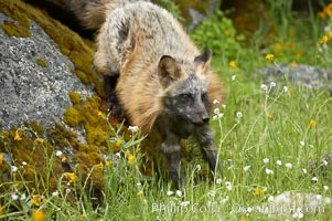Cross fox, Sierra Nevada foothills, Mariposa, California.  The cross fox is a color variation of the red fox., Vulpes vulpes, natural history stock photograph, photo id 15963
