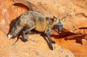 Cross fox.  The cross fox is a color variation of the red fox., Vulpes vulpes, natural history stock photograph, photo id 12109