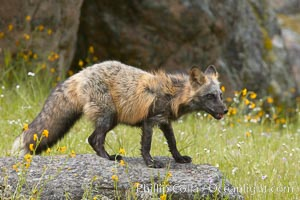 Image 15973, Cross fox, Sierra Nevada foothills, Mariposa, California.  The cross fox is a color variation of the red fox., Vulpes vulpes