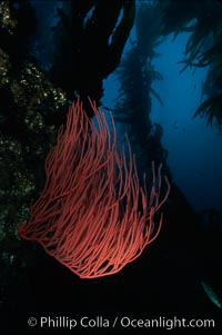 Red gorgonian in kelp forest, Lophogorgia chilensis, Macrocystis pyrifera, San Clemente Island