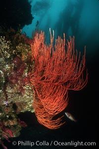 Red gorgonian. San Clemente Island, California, USA, Lophogorgia chilensis, natural history stock photograph, photo id 02535
