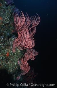 Pacific torpedo ray, Farnsworth Banks, Catalina, Torpedo californica, Lophogorgia chilensis, Catalina Island