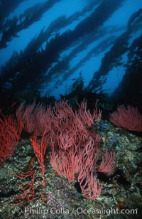 Red gorgonian on rocky reef below kelp forest. San Clemente Island, California, USA, Lophogorgia chilensis, Macrocystis pyrifera, natural history stock photograph, photo id 03825