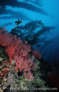 Red gorgonian on rocky reef below kelp forest, Lophogorgia chilensis, Macrocystis pyrifera, San Clemente Island