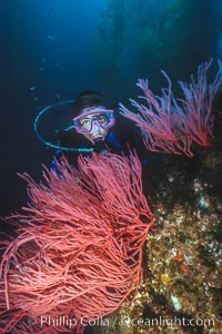 Diver and red gorgonian, San Clemente Island