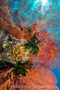 Red Gorgonian and Yellow Crinoid on Coral Reef, Fiji. Wakaya Island, Lomaiviti Archipelago, Crinoidea, Gorgonacea, Plexauridae, natural history stock photograph, photo id 31741