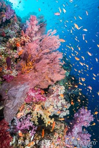 Colorful Dendronephthya soft corals and red gorgonian and schooling Anthias fish on coral reef, Fiji, Dendronephthya, Pseudanthias, Gorgonacea, Vatu I Ra Passage, Bligh Waters, Viti Levu  Island