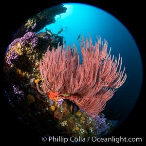 Red gorgonian (Lophogorgia chilensis) on Farnsworth Banks reef, Catalina Island