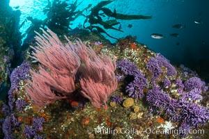 Red gorgonian Leptogorgia chilensis and purple hydrocoral, Farnsworth Banks, Catalina Island, California, Leptogorgia chilensis, Lophogorgia chilensis, Allopora californica, Stylaster californicus