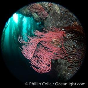 Red gorgonian Leptogorgia chilensis, Catalina Island, Leptogorgia chilensis, Lophogorgia chilensis